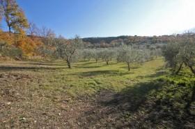 Toscana terreni agricolo a oliveto in vendita [316]